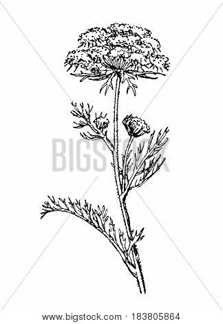 Wild carrot. Plants of dry meadows.Vintage collection of hand drawn medical herbs and plants, Botanical vector illustration