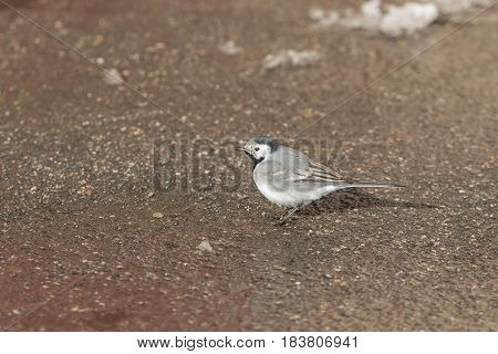 portrait of a wagtail on the ground