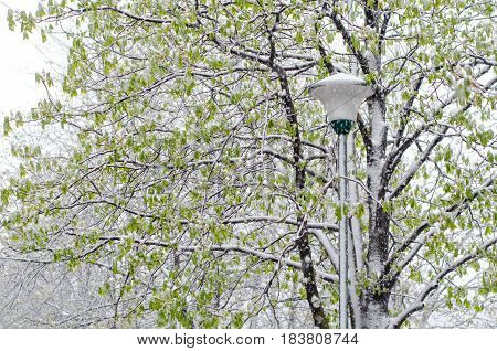 Street Lantern And A Green Tree Covered With Sudden April Snow Cyclone