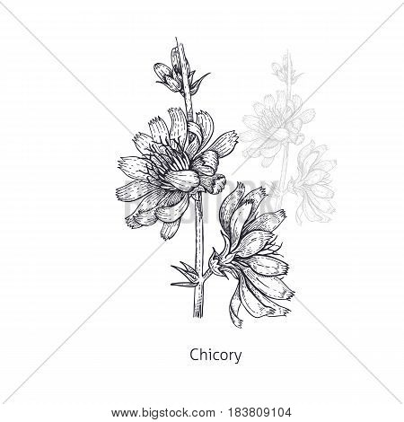 Chicory flower. Medical herbs and plants Isolated on white background series. Vector illustration. Art sketch. Hand drawing object of nature. Vintage engraving style. Black and white.