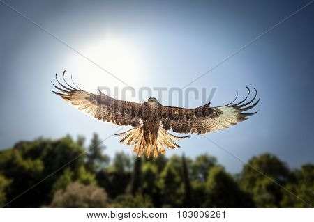Head on view of hunting red kite (Milvus Milvus) with wings spread looking directly at the camera as it swoops to collect prey