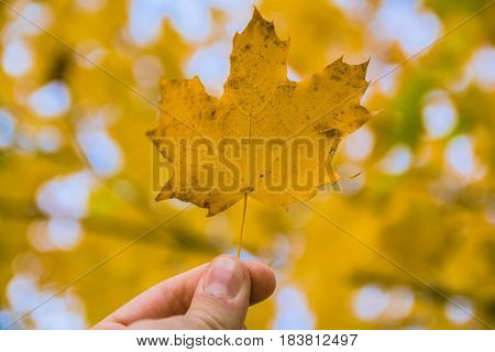 Fallen Maple Tree Leaf Held Up With Blurred Background