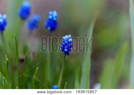 Flowers of a cultivated broad-leaved grape hyacinth (Muscari latifolium)