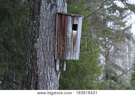 Typical birdhouse for Common goldeneye (Bucephala clangula) on a pine in the North of Sweden.
