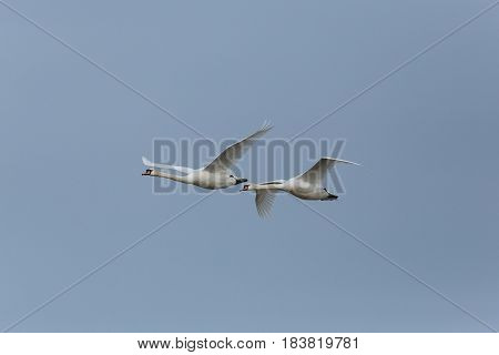 Two Mute Swans (cygnus Olor) In Flight With Blue Sky