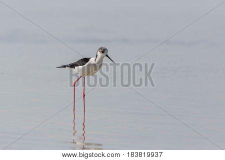 Portrait Of Common Stilt (himantopus Himantopus) Standing In Water