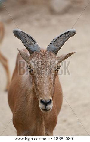 Head of Brown Goat or Capra Hirous in nature and is wildlife species specific.