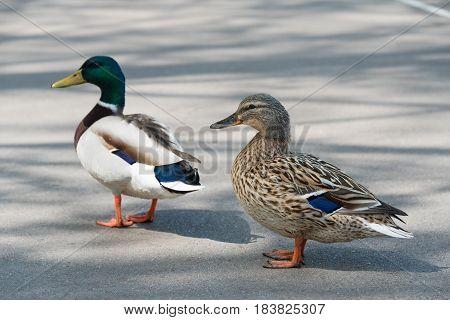 Pair of Mallard Ducks crossing road closeup.