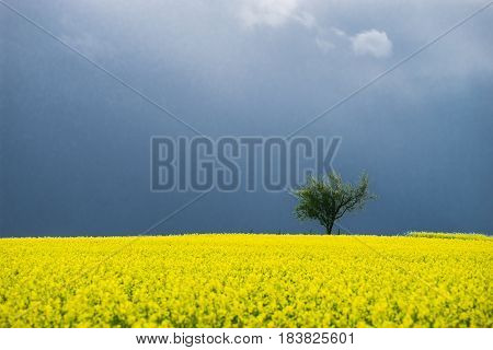 Alone tree in yellow field with dark stormy clouds