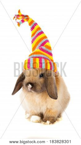 Lop Eared Rabbit wearing a colorful stocking cap