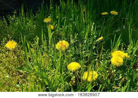 Yellow dandelion flowers in green grass in the rays of the midday sun