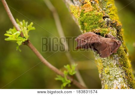 Edible mushrooms with excellent taste grow in spring Auricularia auricula-judae