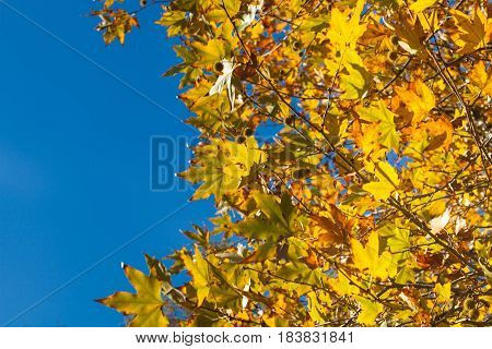 Yellow Autumn Plane Tree Leaves on the Branches with Blue Sky on the Background