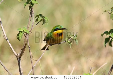 Little bee-eater perched on a twig in Masai Mara National Park, Kenya