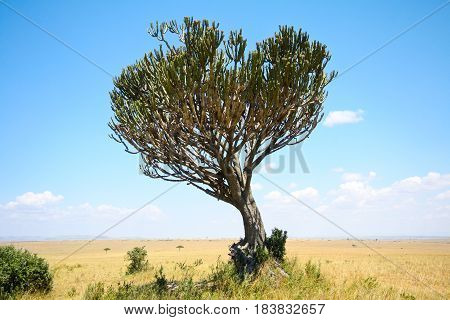 Green candelabra tree against blue sky and yellow grass on the African savanna