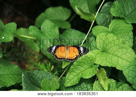 Yellow orange colorful butterfly resting on green leaf drying its wings in the sun by spreading them.