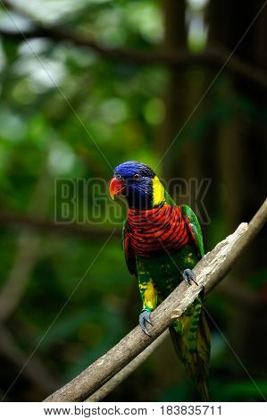 Rainbow lorikeet bird with colorful feathers sitting on wooden branch looking out in the morning.