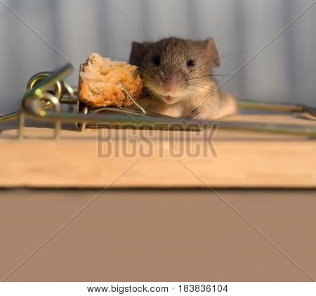 Cute House Grey Mouse Or Rat At Mousetrap With Bait