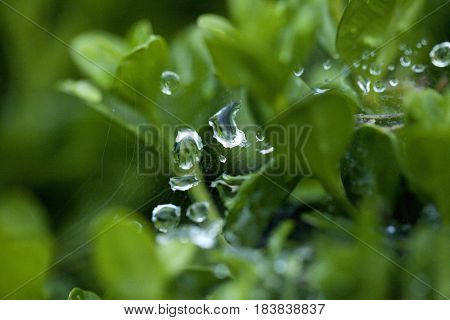 Water Drop On Spider Web Between Plants Close-up