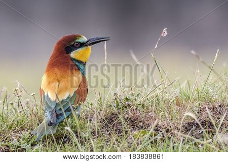 bee eater, colorful bird belonging to the Meropidae family.