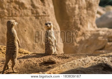 Two alert Meerkats in the desert on sand floor standing looking at the horizon on guard curious gesture, with Warm colors and sunlight, suricate, Suricata, suricatta