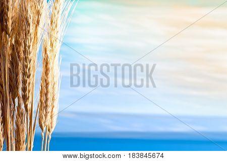 Sheaf Of Barley On The Blue Sky