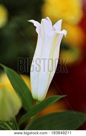 Beautiful white lily closeup soft focus blur background