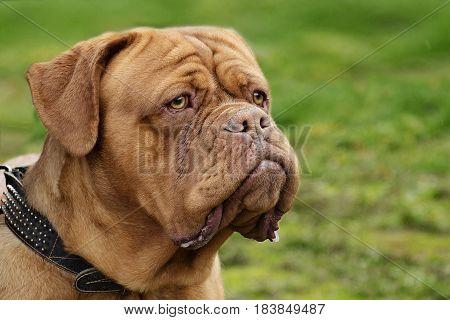 portrait of a Dogue de Bordeaux large on green grass