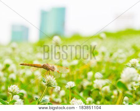 Golden Dragonfly On White Flower In Natural