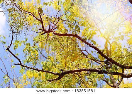 Cassia fistula blossom in nature blue sky background