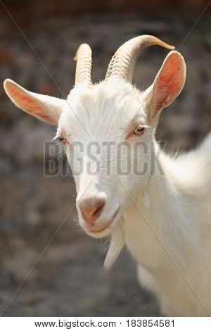 A Goat With Goats Will Go To The Yard