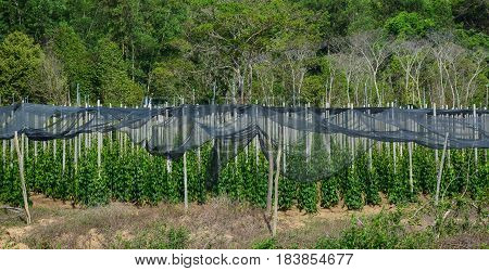 Black Pepper (piper Nigrum) Vines At The Plantation
