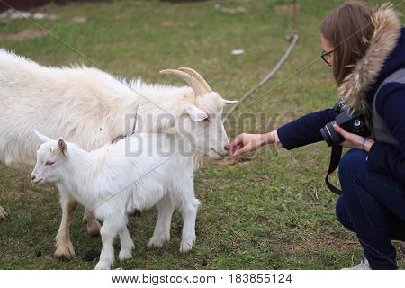 Girl feeds a goat at the yard.