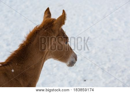 Young foal of Russian Don breed at winter day