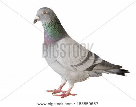 portrait full body of speed racing pigeon bird isolated white background