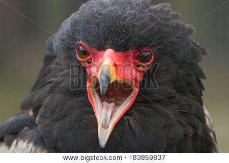 photo portrait of a Bateleur eagle calling