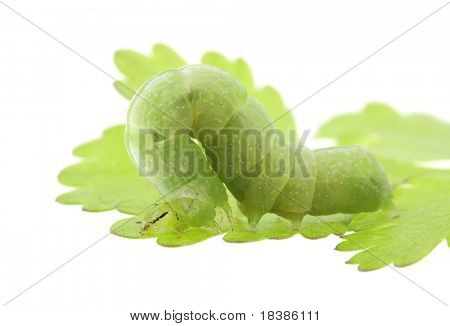 caterpiller on a parsley leaf isolated on white