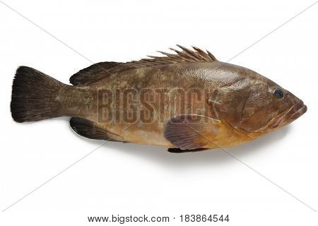 Single dusky grouper on white background
