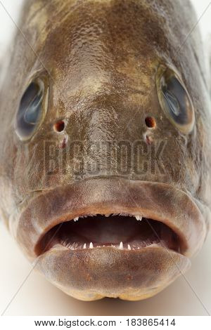 Head, mouth and teeth of a dusky grouper close up