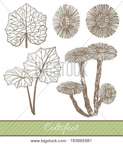vector hand drawn isolated illustration of coltsfoot