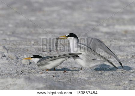Least Tern, courtship display with male holding fish near the shoreline in Florida