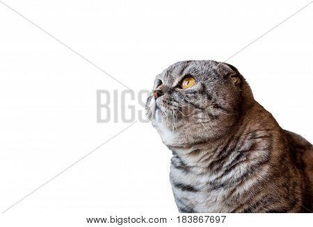 Scottish Fold cat isolated on white background. Cat looking up. Scottish Fold cat with big orange eyes.