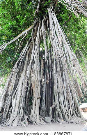 Large old tree overgrown with lianas at Borobudur on Java Indonesia