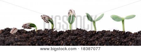 sunflower seed germination different stages isolated on white