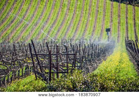 Vineyard rows with water sprinklers in Napa Valley California