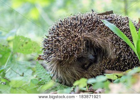 Rolled-up hedgehog in grass. Hedgehog asleep on his side