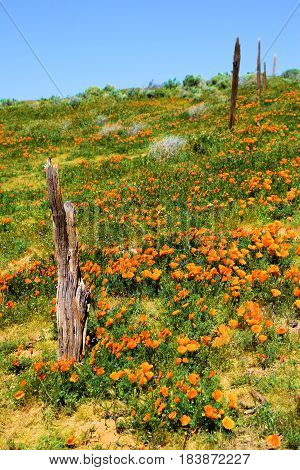 Rustic forgotten wooden fence on an abandoned ranchland at lush green grasslands with Poppy Flowers taken in a rural prairie