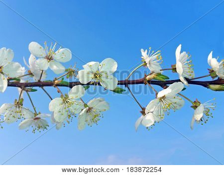 branch with cherry blossoms against blue sky horizontal