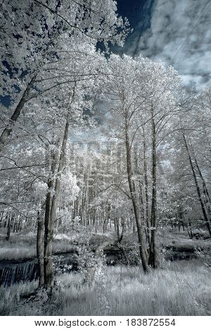 Landscape in infrared light. Beautiful unusual tree species in summer in Russia. This is a new technical skill.