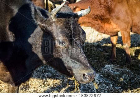 Black bull jersey cow staring and eating grass with horns closeup